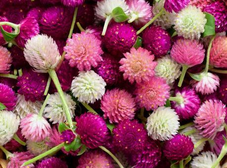 Harvest of Thousand Reds, Globe amaranth, Head