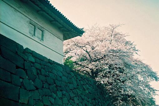 Cherry blossoms at Shimizu gate