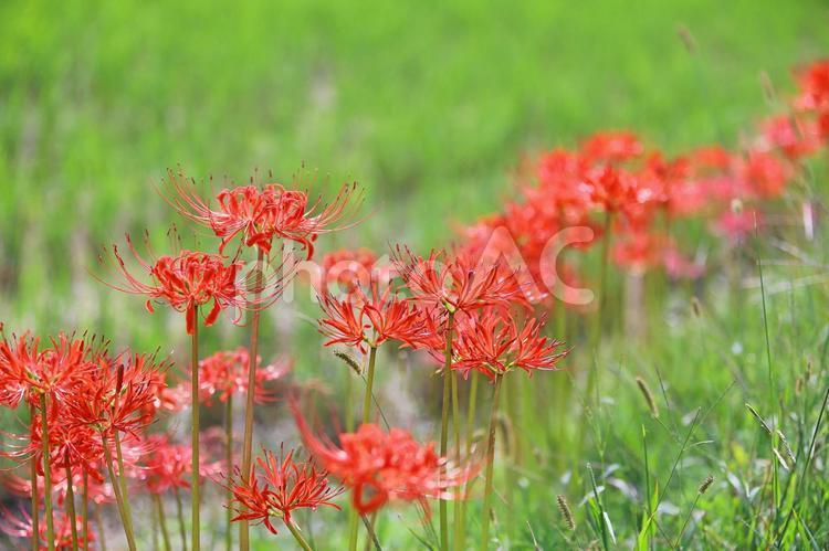 彼岸花 ヒガンバナ 赤い花の写真