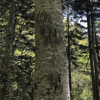 등산 중에 발견 한 곰의 손톱 자국