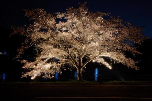 빛나는 밤 벚꽃
