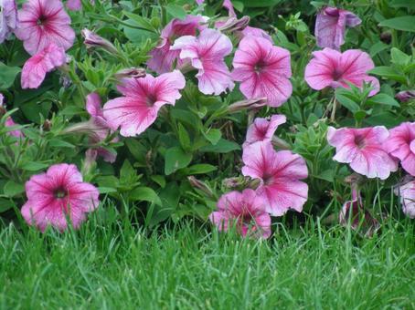 피튜니아 꽃