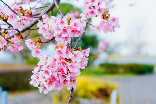 퉁퉁 피는 카와 벚꽃