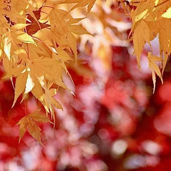 Autumn flowers maple autumn leaves