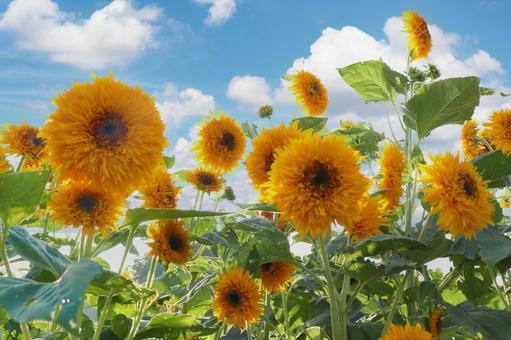 Yae sunflower, blue sky and white clouds Cumulonimbus summer