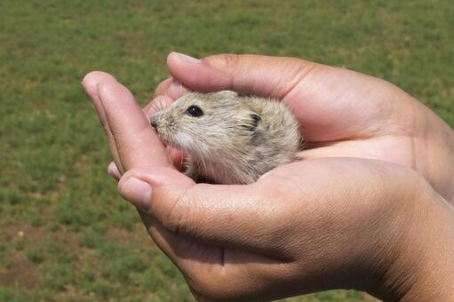 Catching Mongolian rats