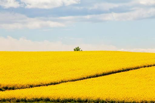 One tree in the blue sky and rape field