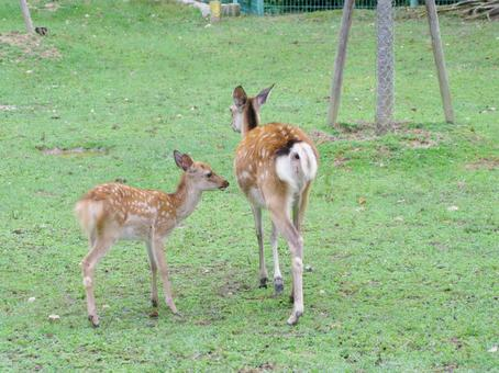 Deer, parent and child, fawn, bambi in Nara Park