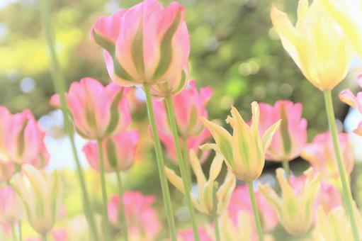 Pink tulip fluffy/soft image