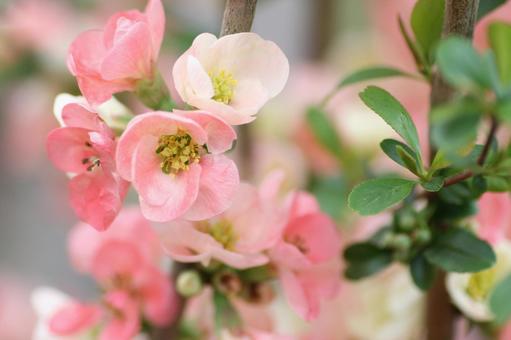 핑크 모과의 꽃 가지
