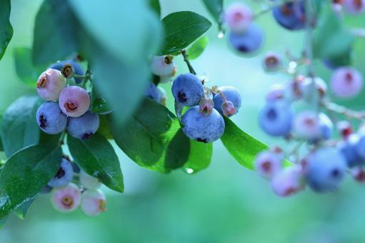 블루 베리 나무 9