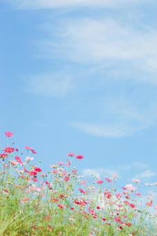 Autumn clouds and cosmos fields ②
