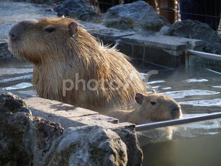 カピバラ 親子風呂の写真