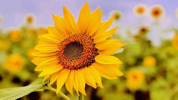 Energetic image Summer sunflower