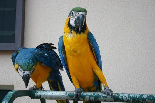 브라질에 서식하는 앵무새