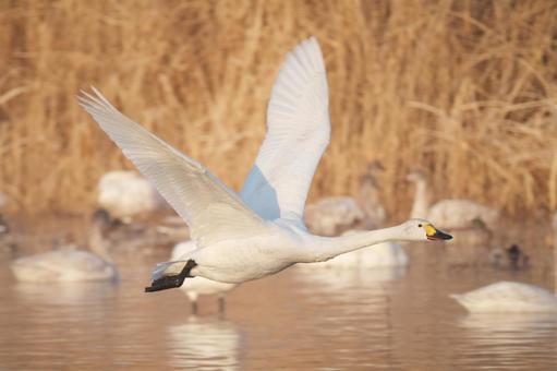 도움 닫기를 달고 수면에서 날아 오르려고하는 백조