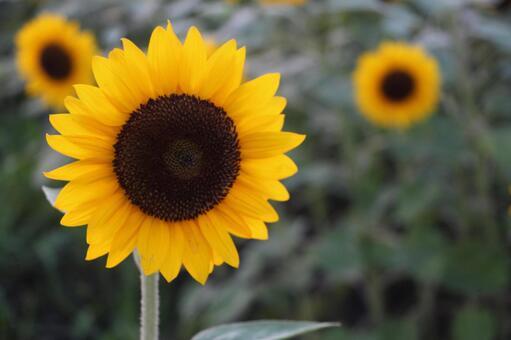 해바라기 꽃 여름 꽃
