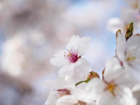 벚꽃의 클로즈업