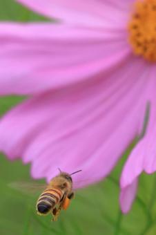 꿀벌의 엉덩이와 꽃가루