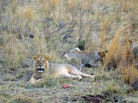 食事中のライオン