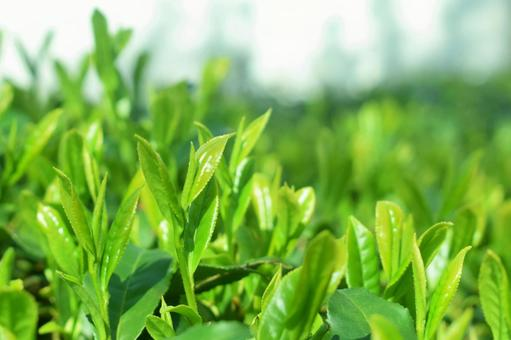 Sprouts of tea tree