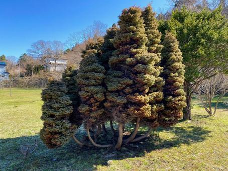 A tree that grows like a mushroom