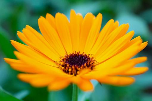 금송화 꽃
