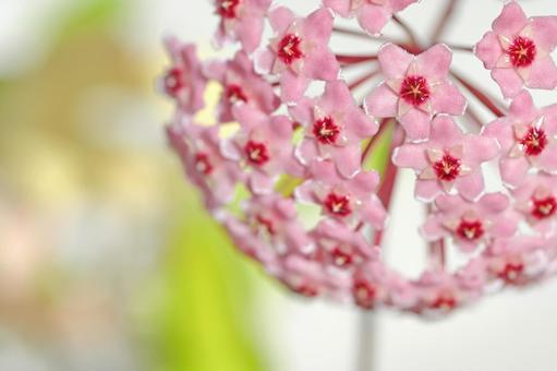Ascidian (Sakuraran) flowers