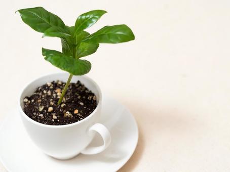 커피 나무 3