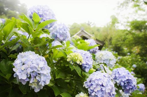 Soft light in the morning and blue hydrangea Mamenbara Plateau