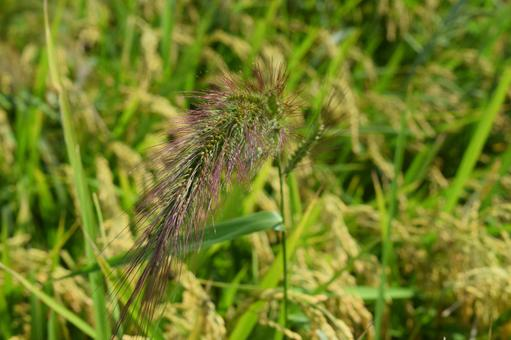 케이누비에 強害 잡초