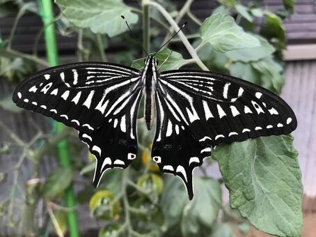 호랑 나비, 곤충