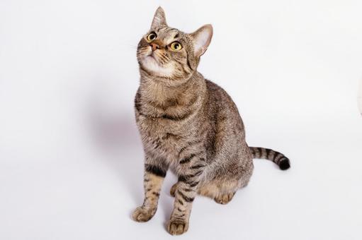 Tiger pattern cat 6