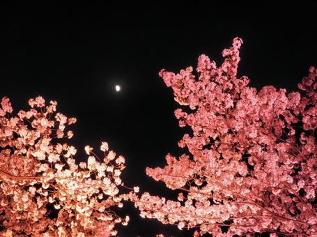 Sakura and moon at night