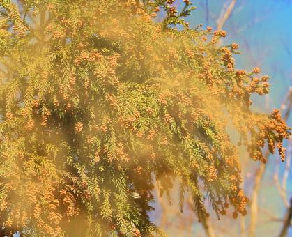 Cedar pollen scattering image