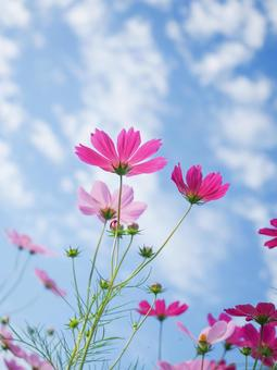 Cosmos and autumn sky vertical composition