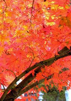 Autumn leaves maple autumn maple sum