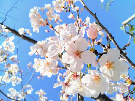 Cherry blossoms blooming in the blue sky up spring wallpaper texture background
