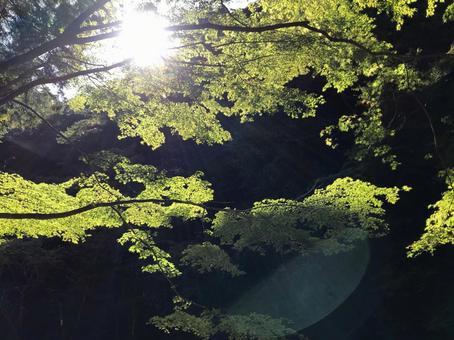 푸른 단풍 나뭇잎 사이로 비치는 햇빛