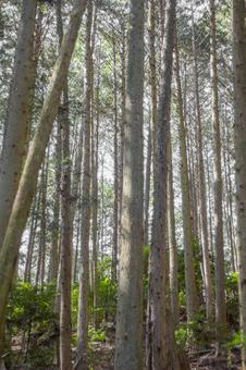 Cedar Forest 1