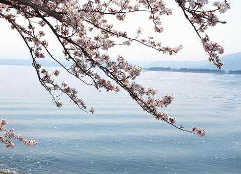 Cherry blossoms of Lake Biwa