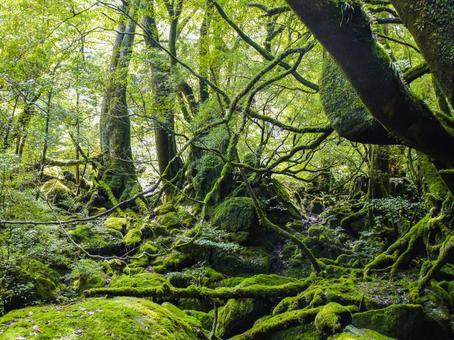야쿠시마 숲 8