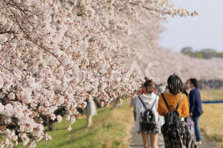多摩川堤防でのふっさ福生桜まつりの写真