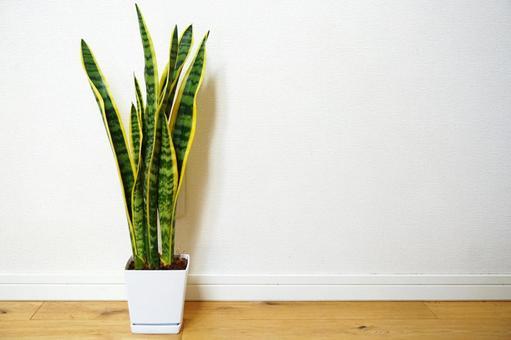 Decorate the foliage plant Sansevieria