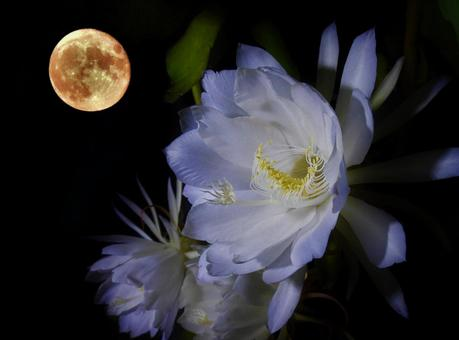 Backmoon and Queen of the Night
