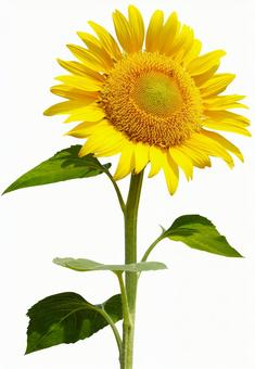 Sunflower (PSD has background transmission, clipping path included)