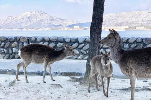 사슴의 친자 @ 미야지마 · 이쓰 쿠시마