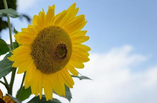 Sunflowers and blue sky