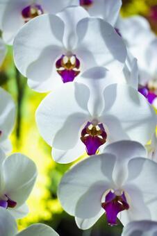 Beautiful Phalaenopsis orchid