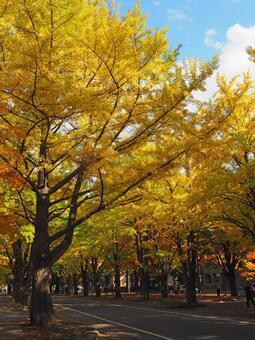 Hokkaido University ginkgo trees